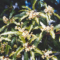 Sweet Pittosporum